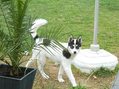 Gaya, Husky noire et blanche, s'est enfuie à Echiré ! [79] RETROUVEE Gaya110