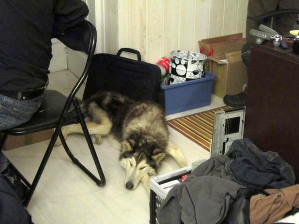 LOUIS Rebaptisé ALASKA husky à l'attache depuis des années (m) 8 ans 8 mois  EN FA ( 79 ) Louis11