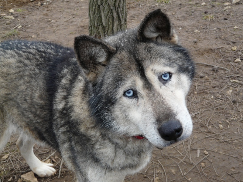 LUCKY Husky 16 ans et demi ASSO65  DECEDE P1070710