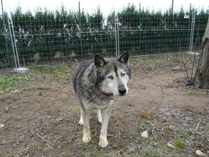 LUCKY Husky 16 ans et demi ASSO65  DECEDE P1070711