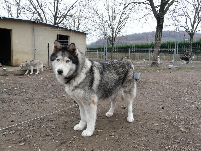 OUKIOK Superbe! malamute x husky (m) 13ans asso Eden Valley (26)DECEDE P1070714