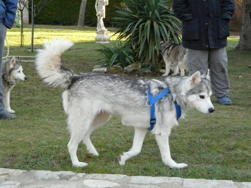 Sounde husky femelle de 7 ans ancienne maltraitée dpt 13 DECEDEE - Page 2 P1070812