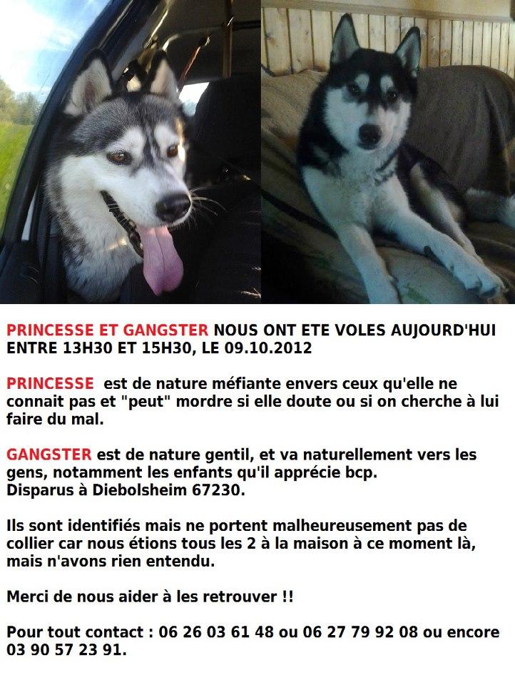 URGENT Volés le 09 octobre 2012 , 2 chiens husky à DIEBOLSHEIM (67230) RETROUVES Solane10