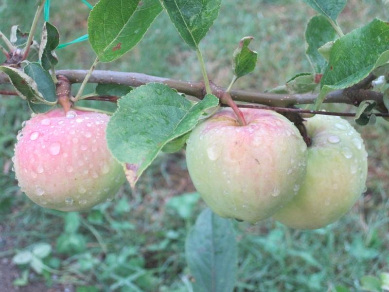adding fruit trees July_244