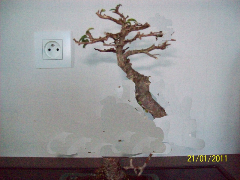 taille de strucuture orme de chine Orme1010