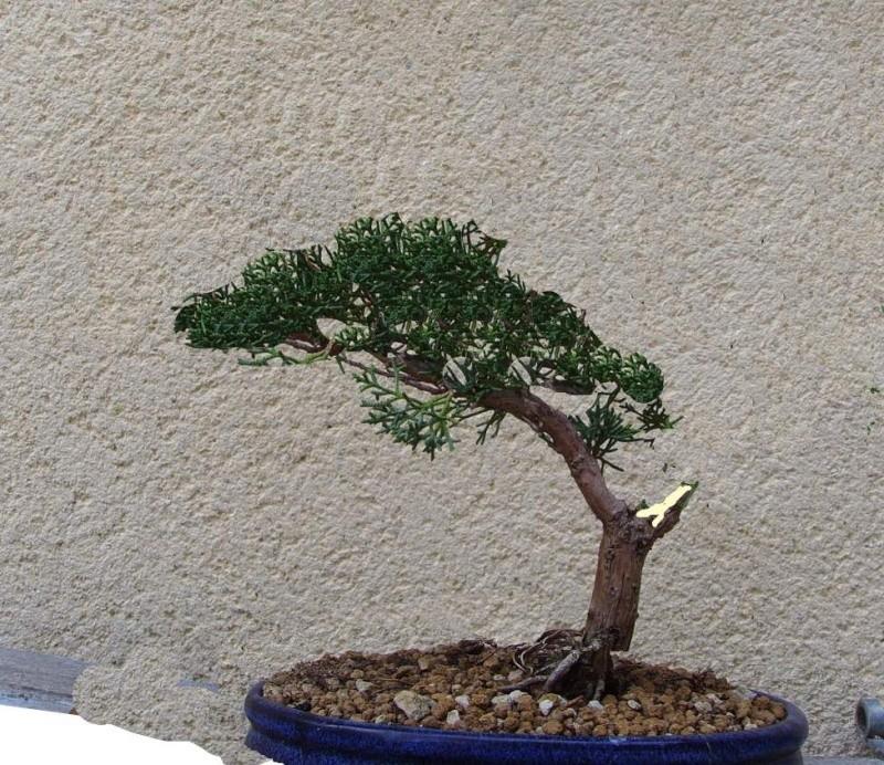 nouveau sur le site comme en bonsai SOS Sgtpep11