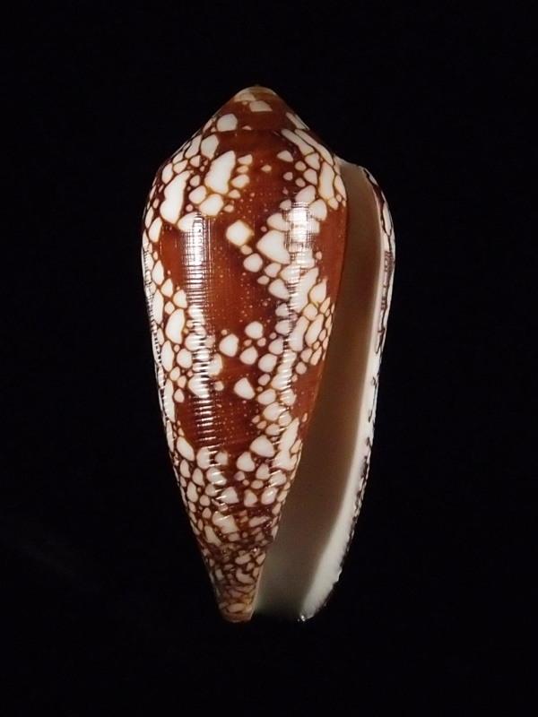 Conus (Darioconus) magnificus   Reeve, 1843 - Page 4 P7193911