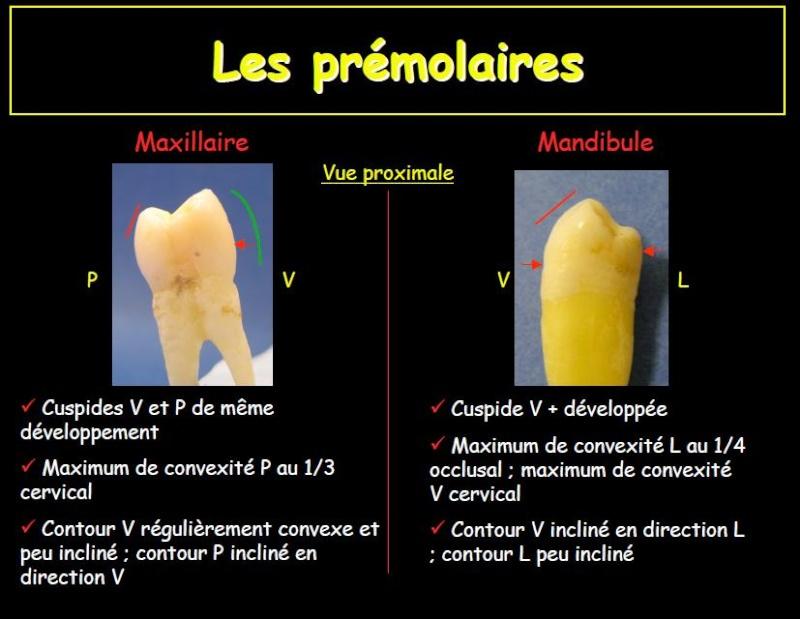 Les premolaires Prem10