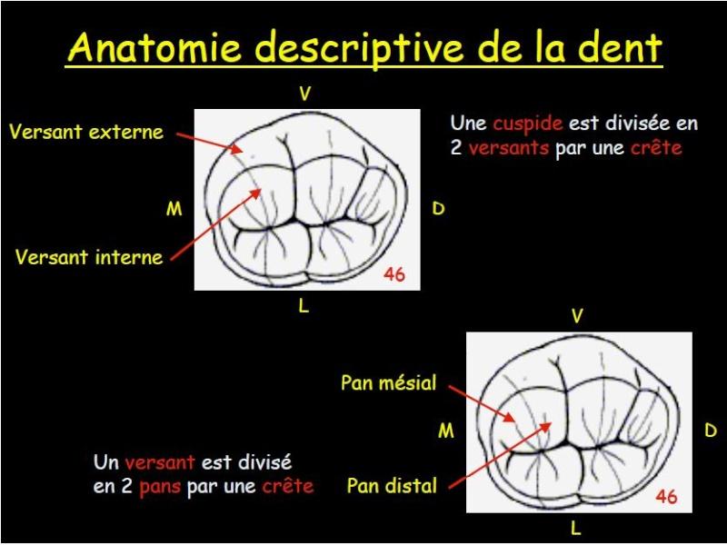 anatomie - anatomie dentaire descriptive Sans_t18