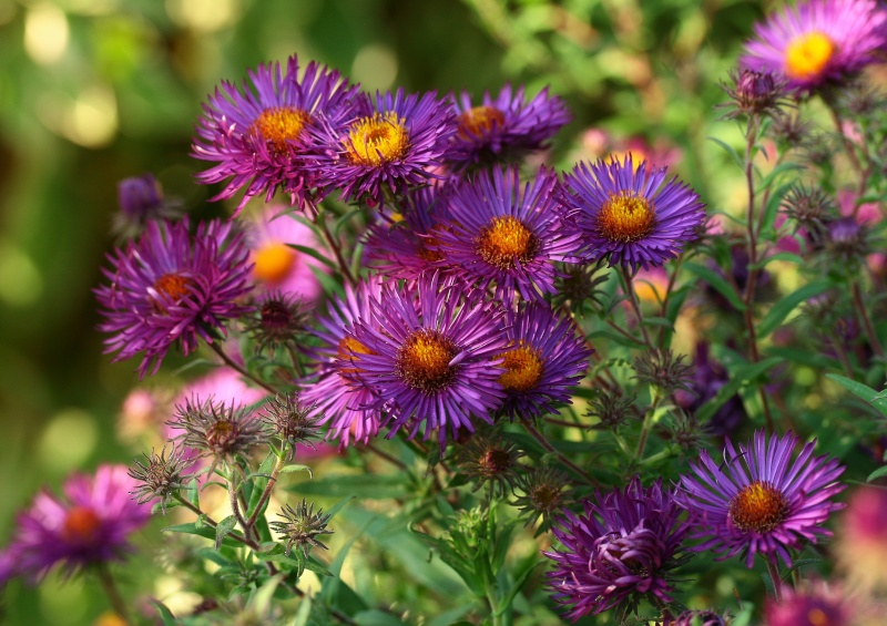 Aster d'automne  - Page 6 Img_6210