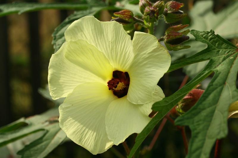 hibiscus a fleur géante:Hibiscus moscheutos cv disco - Page 10 Img_6710