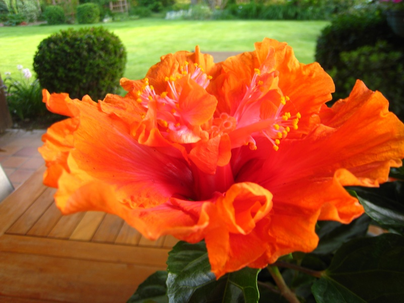 Hibiscus rosa sinensis - Page 7 Img_4510