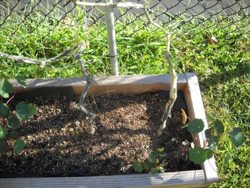 Pumpkin Plants - what is wrong? Garden10