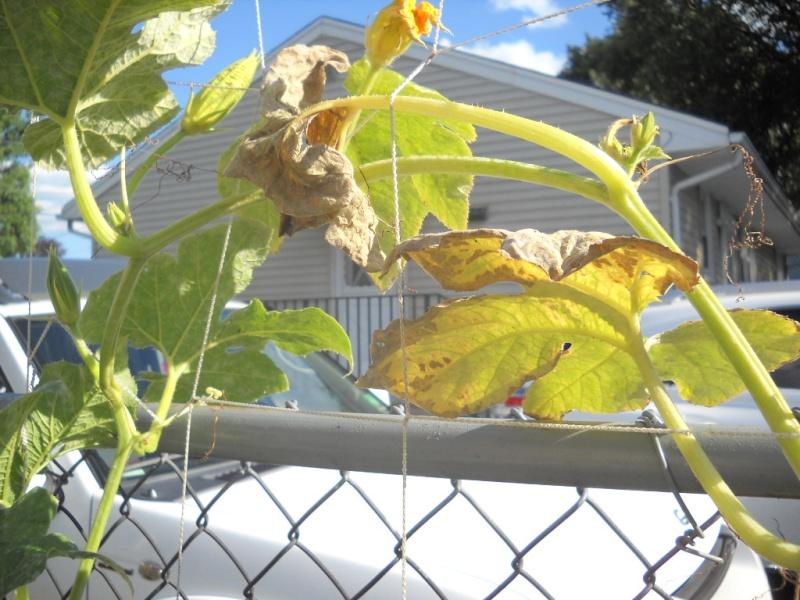 Pumpkin Plants - what is wrong? Garden11