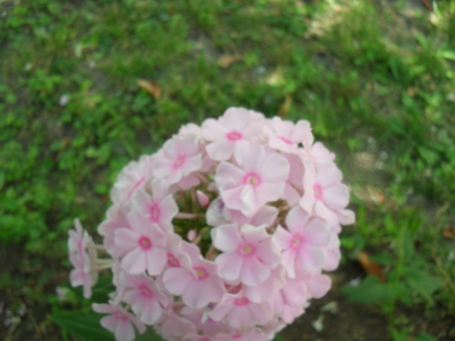 Phlox vivace, Phlox paniculata 00315