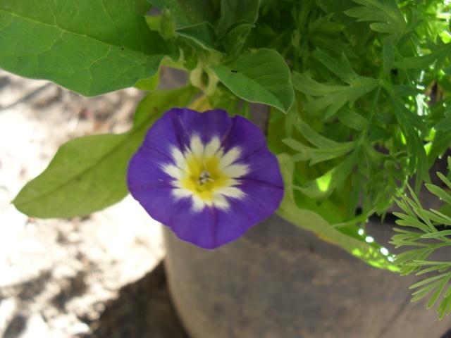 Les belles de jour ( Convolvulus tricolor) 005_210