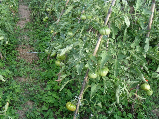 Tomates - Page 3 00610