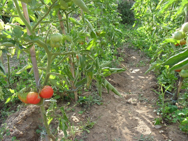 Tomates - Page 3 00713