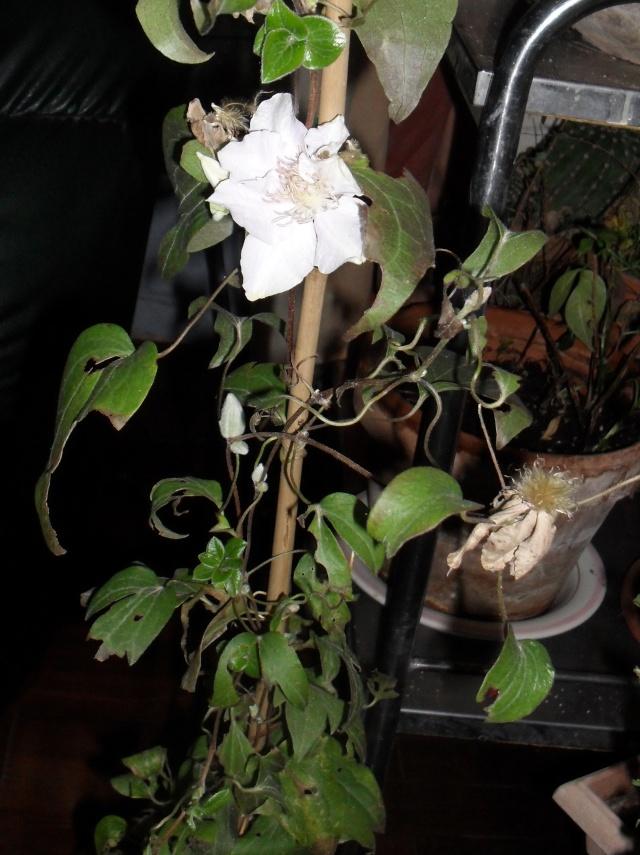 plantation d'une clématite 00722