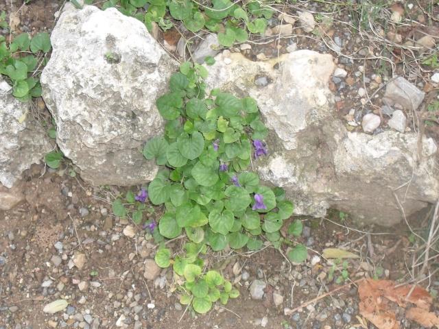 Les violettes 007_210