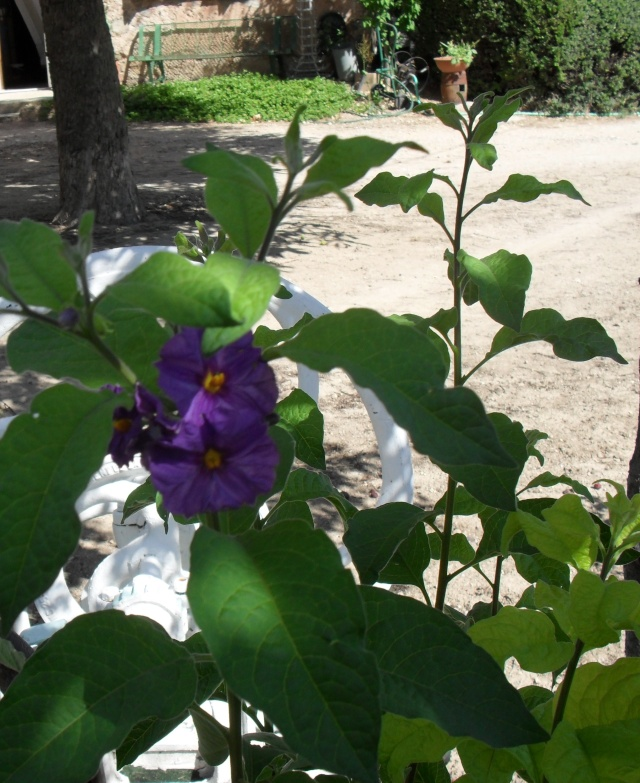 Solanum rantonetti 01113