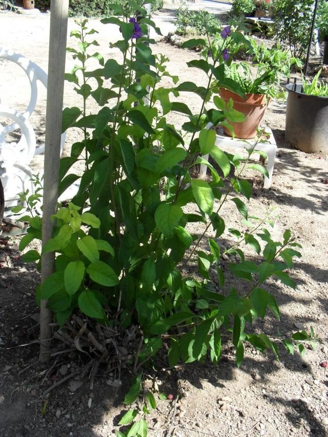 Solanum rantonetti 01215