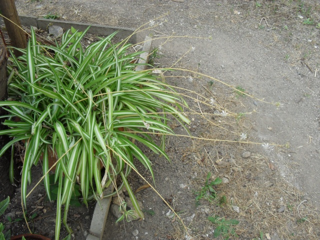 Chlorophytum ou plante araignée  01414