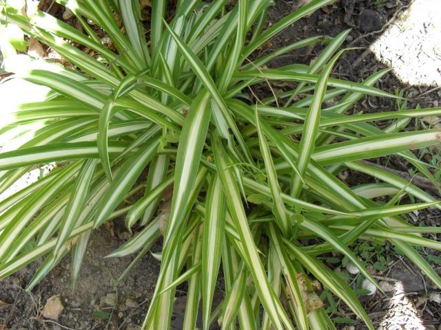Chlorophytum ou plante araignée  02210