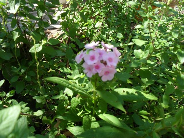Phlox vivace, Phlox paniculata 02611