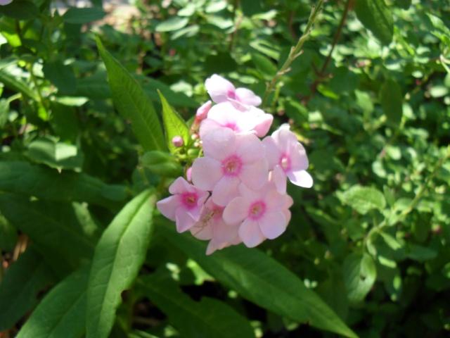 Phlox vivace, Phlox paniculata 02711