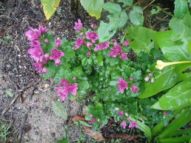 Chrysanthèmes  02814