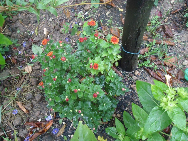 Chrysanthèmes  02914