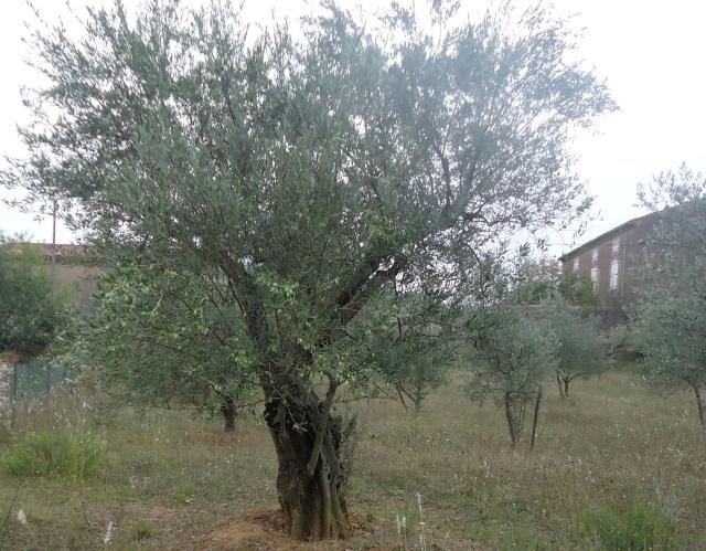Olivier et olives. 04912