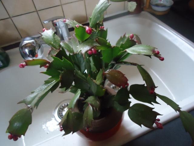 cactus de noel - Page 2 07411