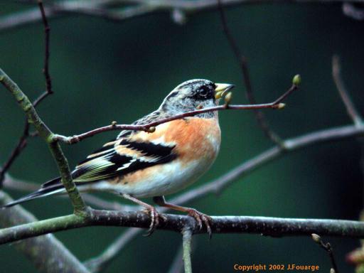 Le jardin des oiseaux Pinson10