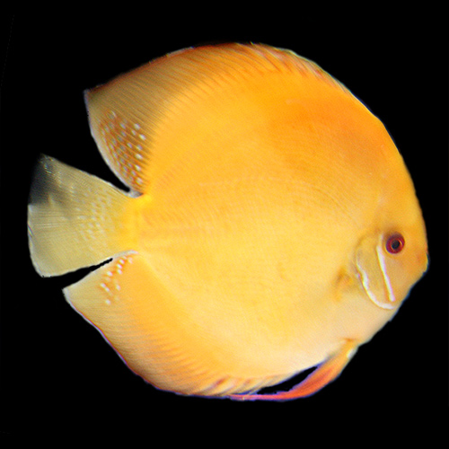 What is your fav discus? - Page 2 Golden10