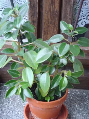 2 plantes (identifiée) Peperomia Dsc03020