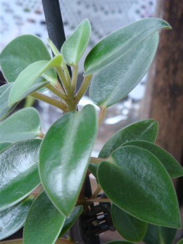 2 plantes (identifiée) Peperomia Dsc03021