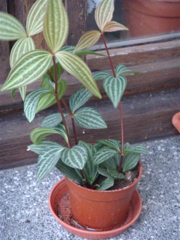 2 plantes (identifiée) Peperomia Dsc03022