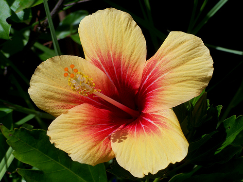 Hibiscus rosa sinensis - Page 4 32452610