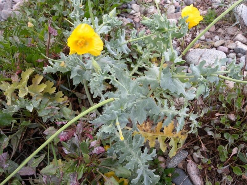 Pavot sauvage jaune : Glaucium flavum 410