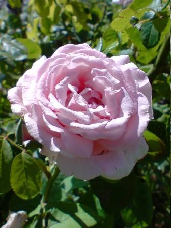 La bouture des rosiers. Fradar11