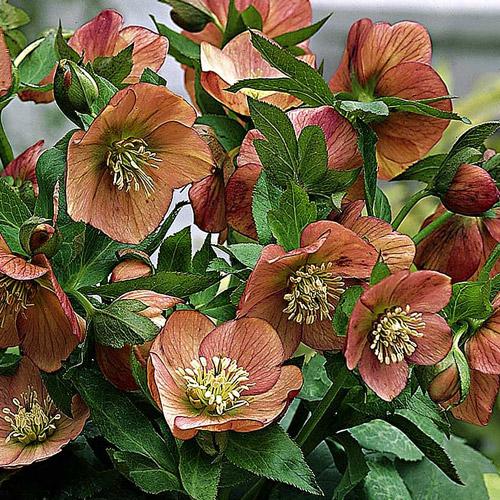 Helleborus niger ou Rose de noel ou Hellebore - Page 5 Helleb10