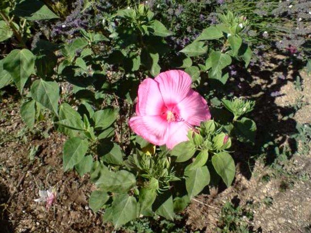 hibiscus a fleur géante:Hibiscus moscheutos cv disco - Page 3 Hibisc12
