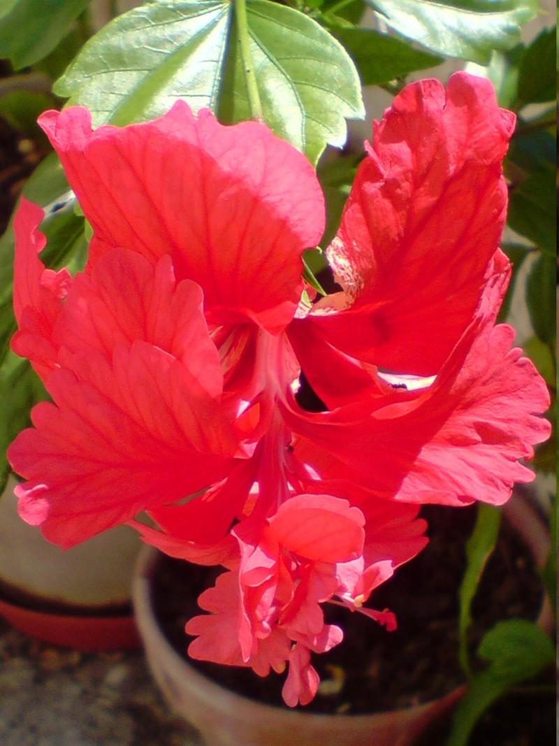 Hibiscus rosa sinensis Hibisc14