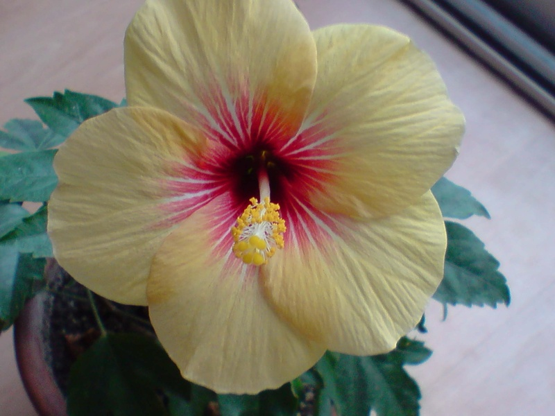 Hibiscus rosa sinensis - Page 4 P0601111