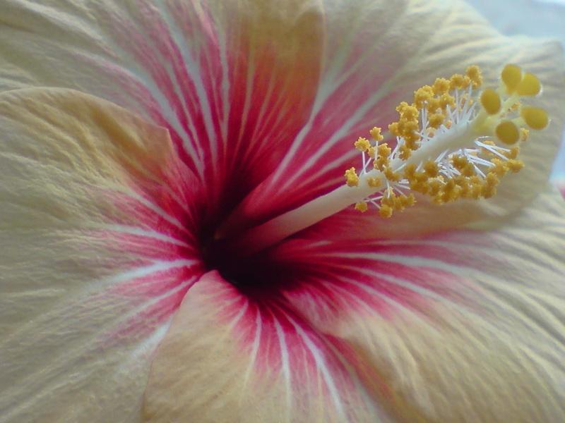 Hibiscus rosa sinensis - Page 4 P0601112