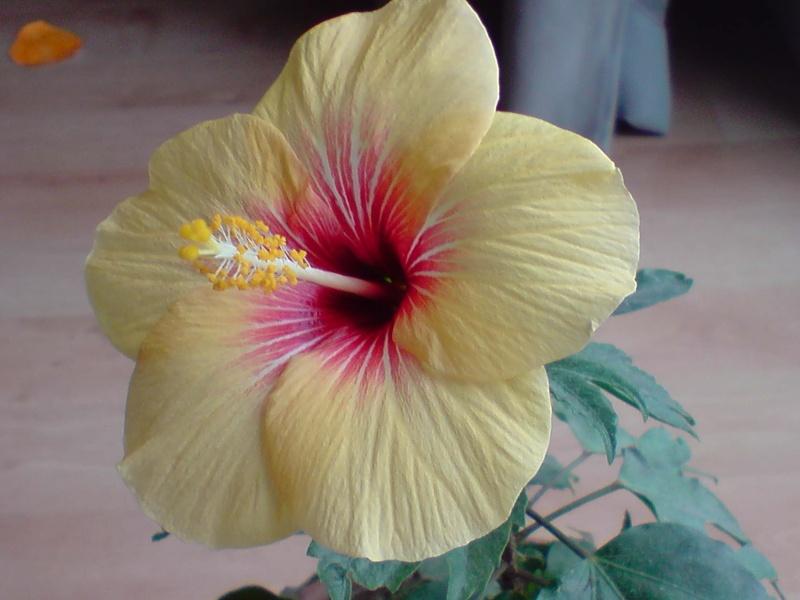 Hibiscus rosa sinensis - Page 4 P0601113