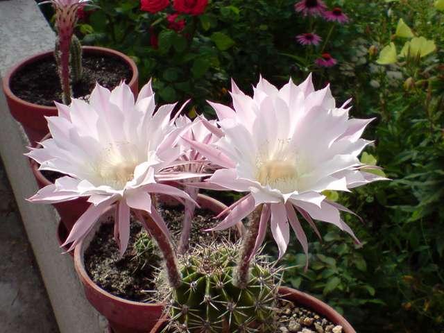Cactus en fleurs P0907110