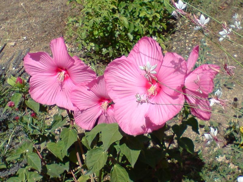 hibiscus a fleur géante:Hibiscus moscheutos cv disco - Page 4 P1008111